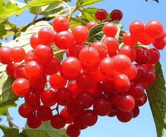 полезные свойства калины красной