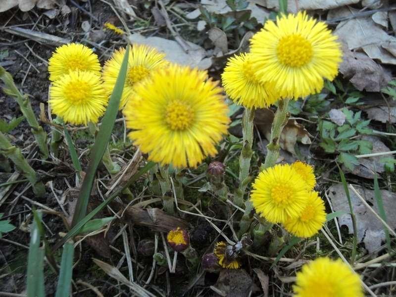 мать и мачеха цветы