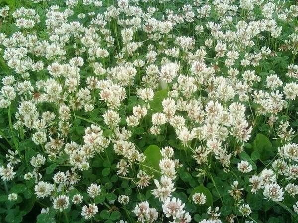 клевер описание растения