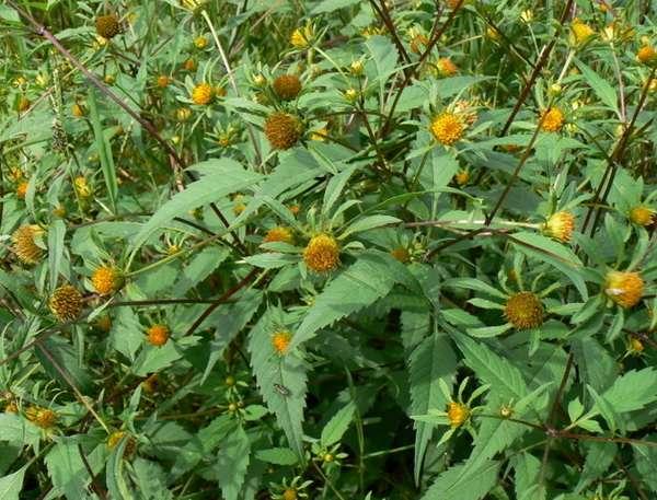 трава череда лечебные свойства