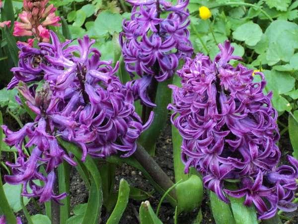 Весенний Фестиваль цветов - гиацинты