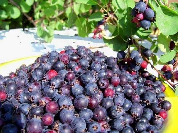 ирга ягоды полезные свойства