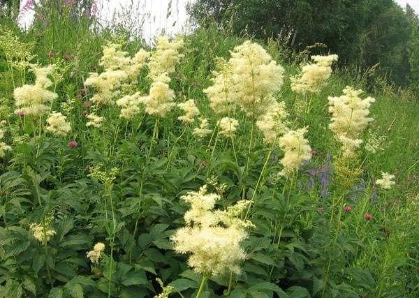 трава таволга лечебные свойства