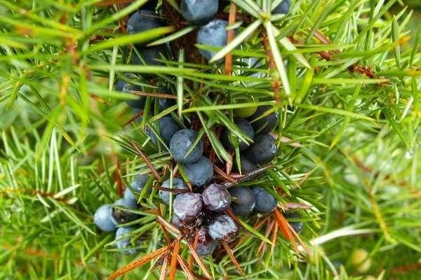 можжевельник ягоды лечебные свойства