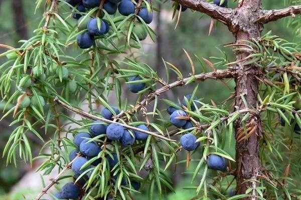 ягоды можжевельника лечебные свойства и противопоказания