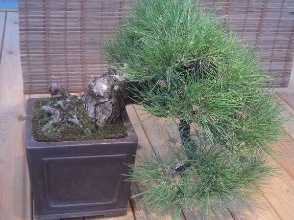 японская сосна бонсай