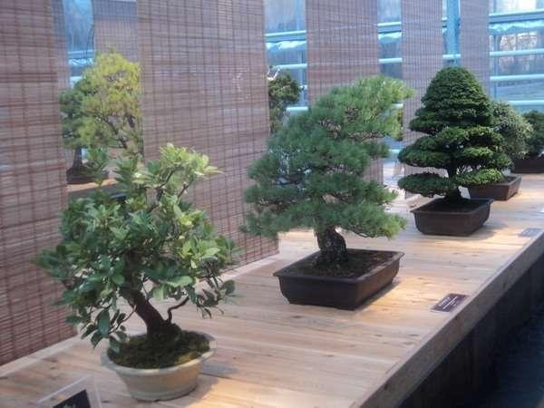 выставка бонсай в аптекарском огороде