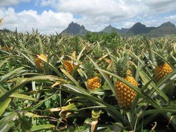 ананас полезные свойства и противопоказания
