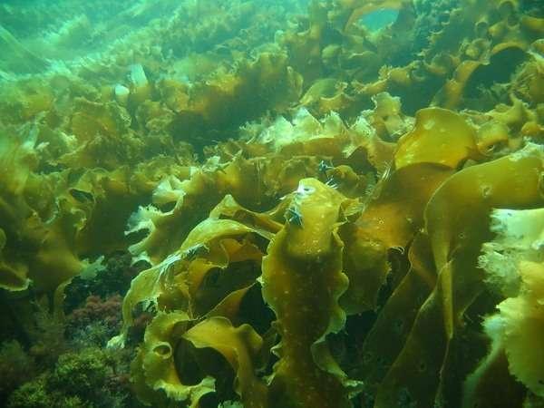 морская капуста полезные свойства и противопоказания