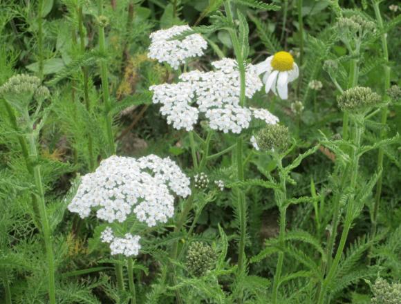 трава тысячелистник лечебные свойства и противопоказания
