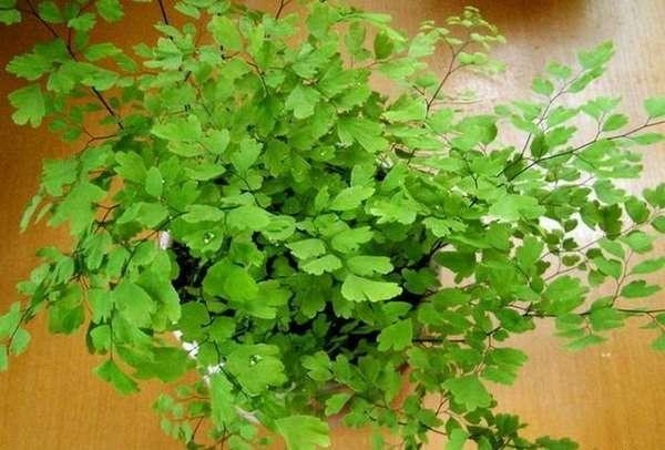 листья гинкго билоба применение