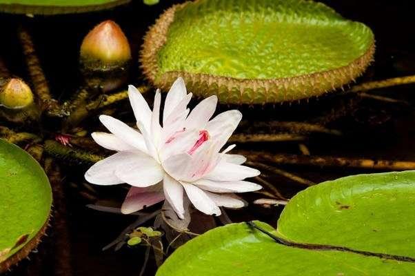 цветок виктории регии