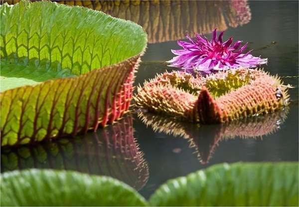 виктория регия растение