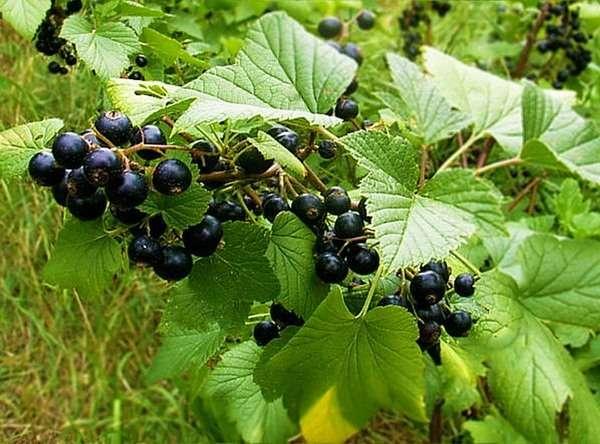 листья смородины полезные свойства и противопоказания