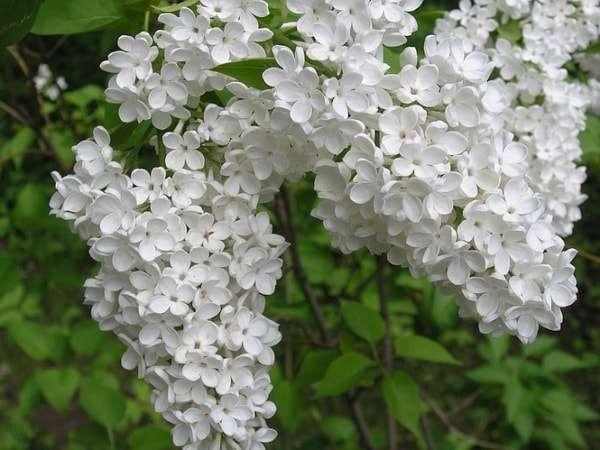 цветки сирени лечебные свойства