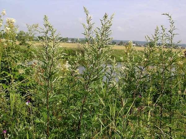 трава полынь лечебные свойства и противопоказания