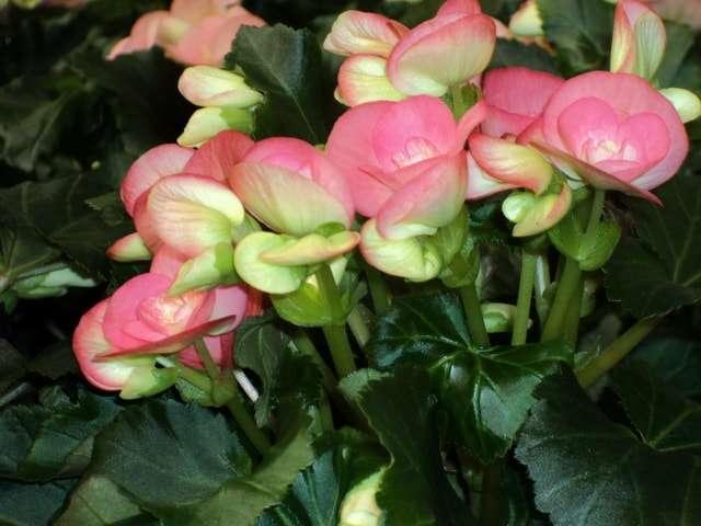 Комнатные цветущие цветы фото с названиями