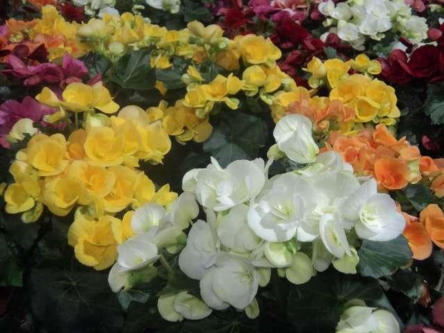 Комнатные цветы и название гербера