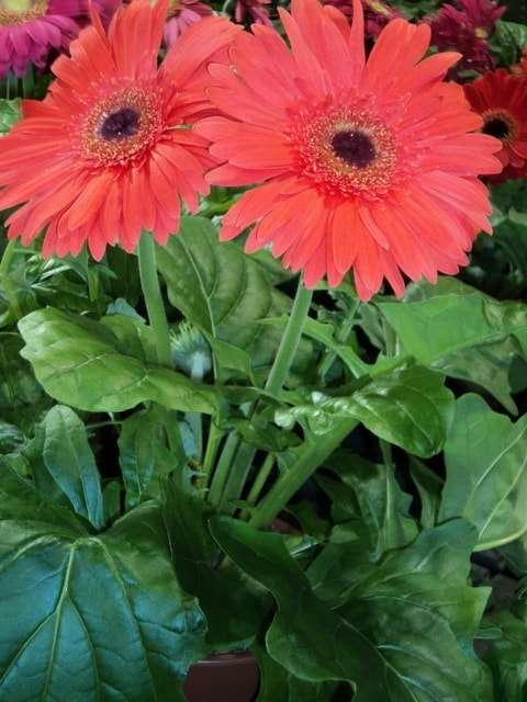 комнатные цветы цветущие с названиями фото