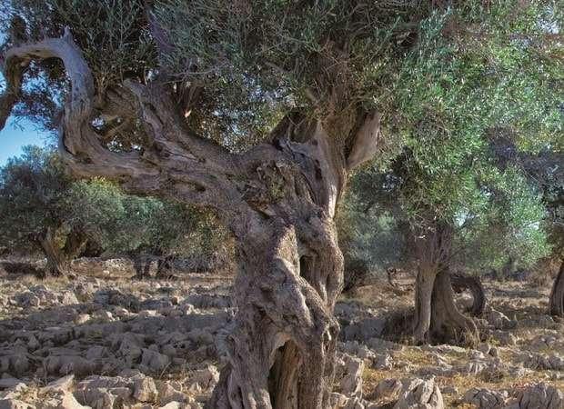 как растут маслины