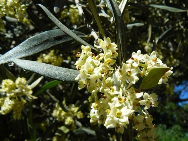 оливки как растут