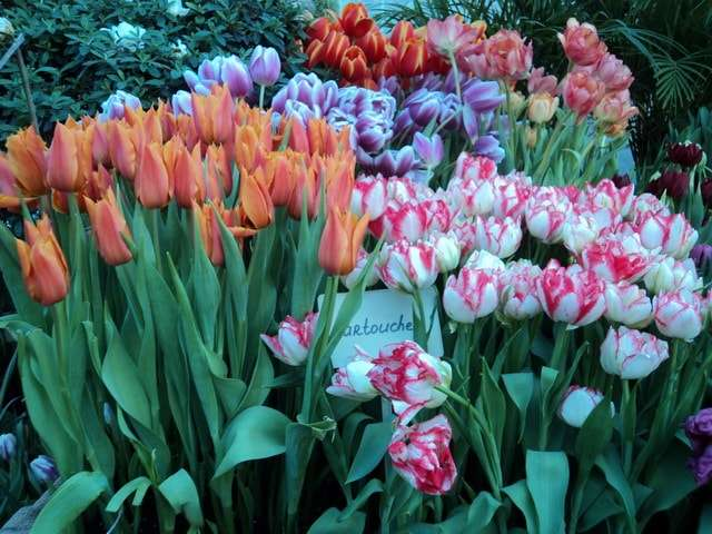 бело-розовые тюльпаны фото