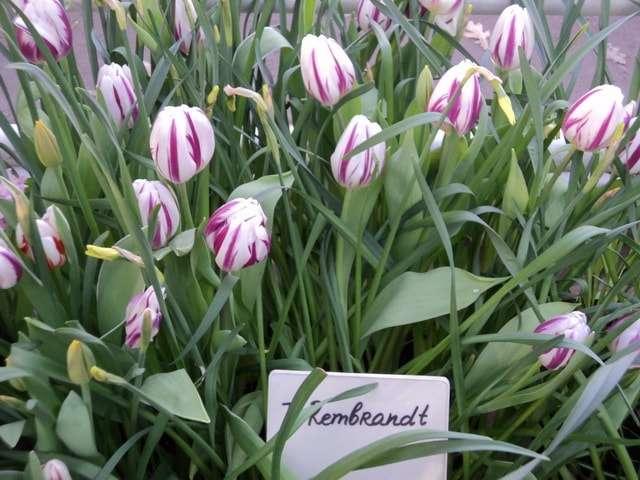 фото виды тюльпанов