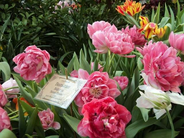 цветы тюльпаны фото