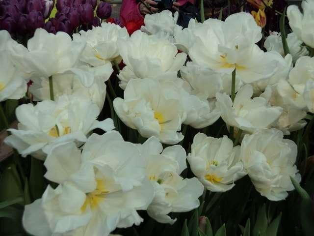 фото махровые тюльпаны