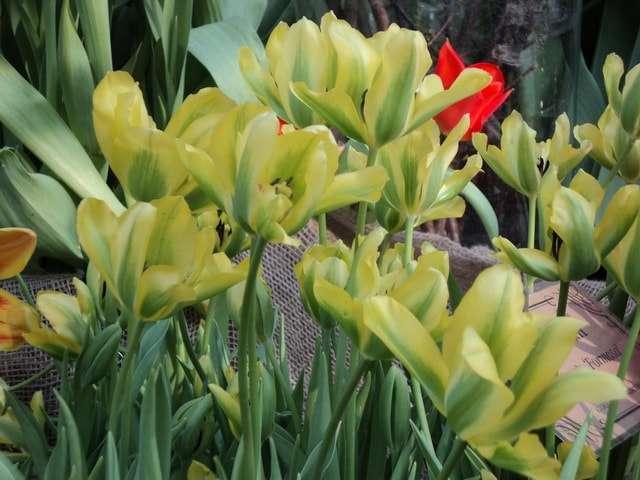 виды тюльпанов фото и название