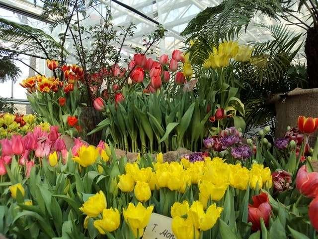 выставка тюльпанов в аптекарском огороде