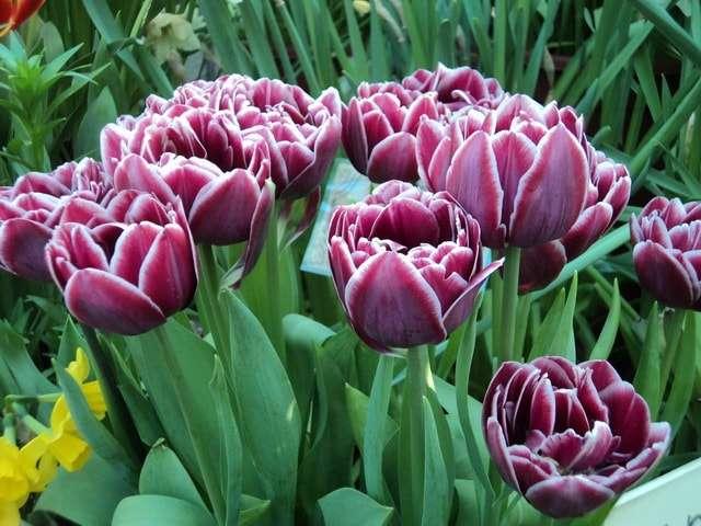 выставка тюльпанов фото
