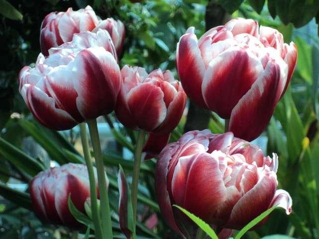 пионовидные тюльпаны фото