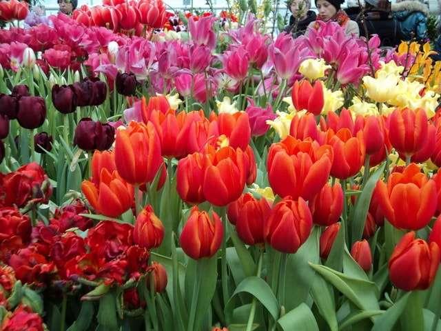 выставка тюльпанов в аптекарском огороде 2018
