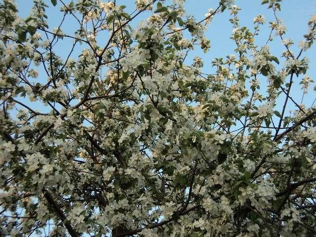 цветение яблонь в коломенском 2018