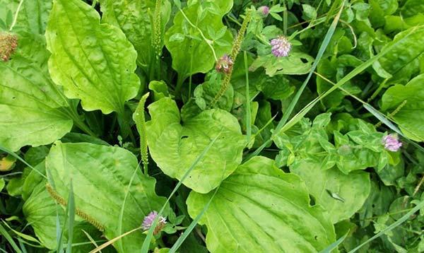 подорожник описание растения