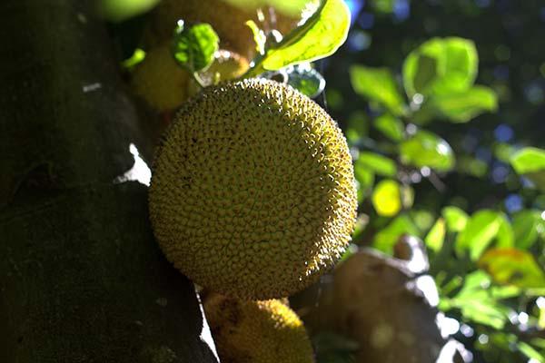 плоды джекфрута