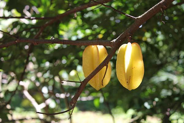 фрукты тайланда фото и описание