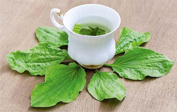листья подорожника лечебные свойства и противопоказания