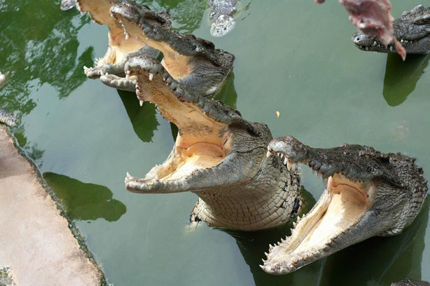 крокодилы шоу