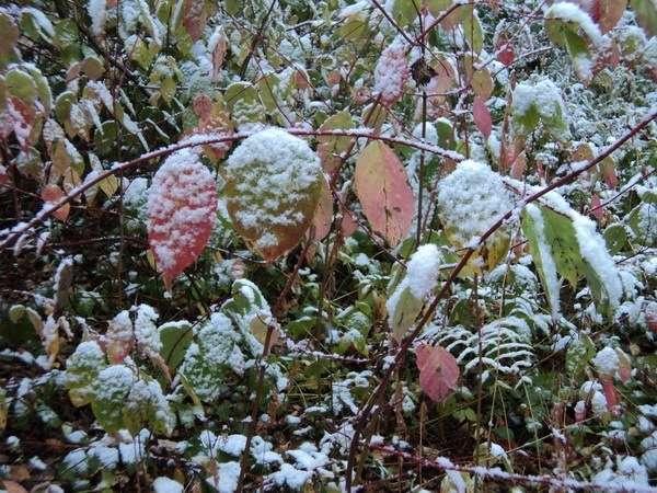 листья под снегом