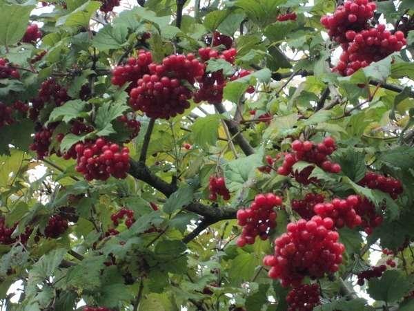 ягоды калины обыкновенной красной