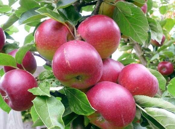 яблоки полезные свойства
