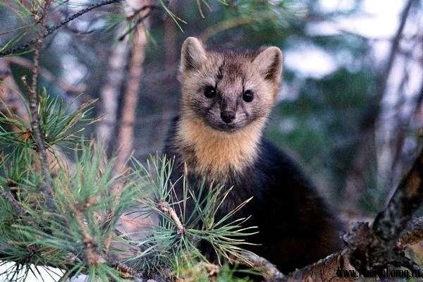 животные баргузинского заповедника
