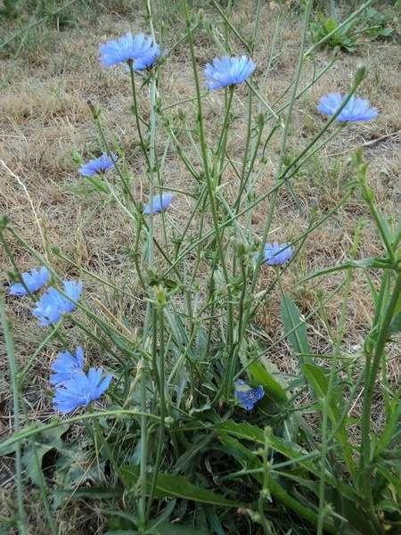 трава цикорий применение