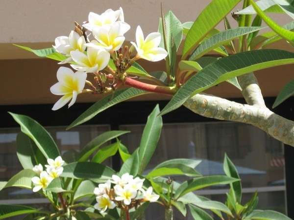 цветет манго