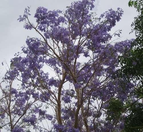 дерево джакаранда