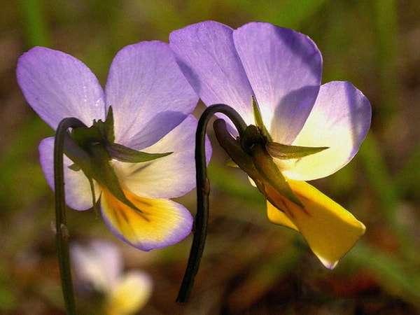 цветок юпитера
