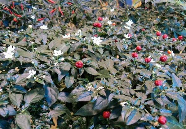 перец жгучий цветы плоды