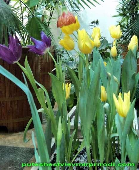 тюльпаны в новогоднем зале